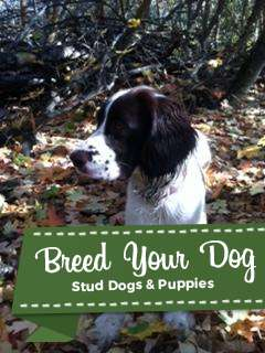 Stud Dog - AKC Registered English Springer Spaniel Stud