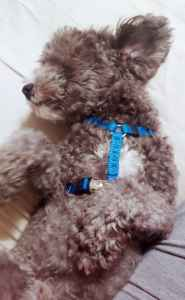 Toy Poodle - 7 lbs (Silver) Listing Image