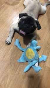 Stud Pure breedPug  Listing Image
