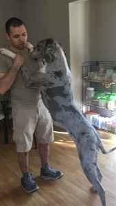 Female Merel Great Dane Listing Image