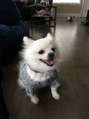 Beautiful White Pomeranian Listing Image