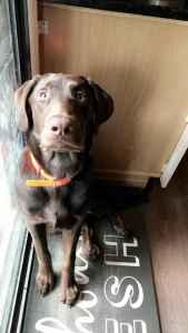 Blockhead Chocolate  Labrador retriever  Listing Image