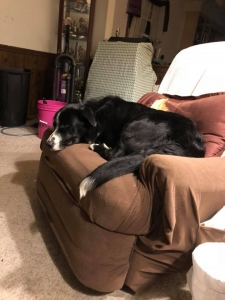 Male Border Collie ready to breed Listing Image