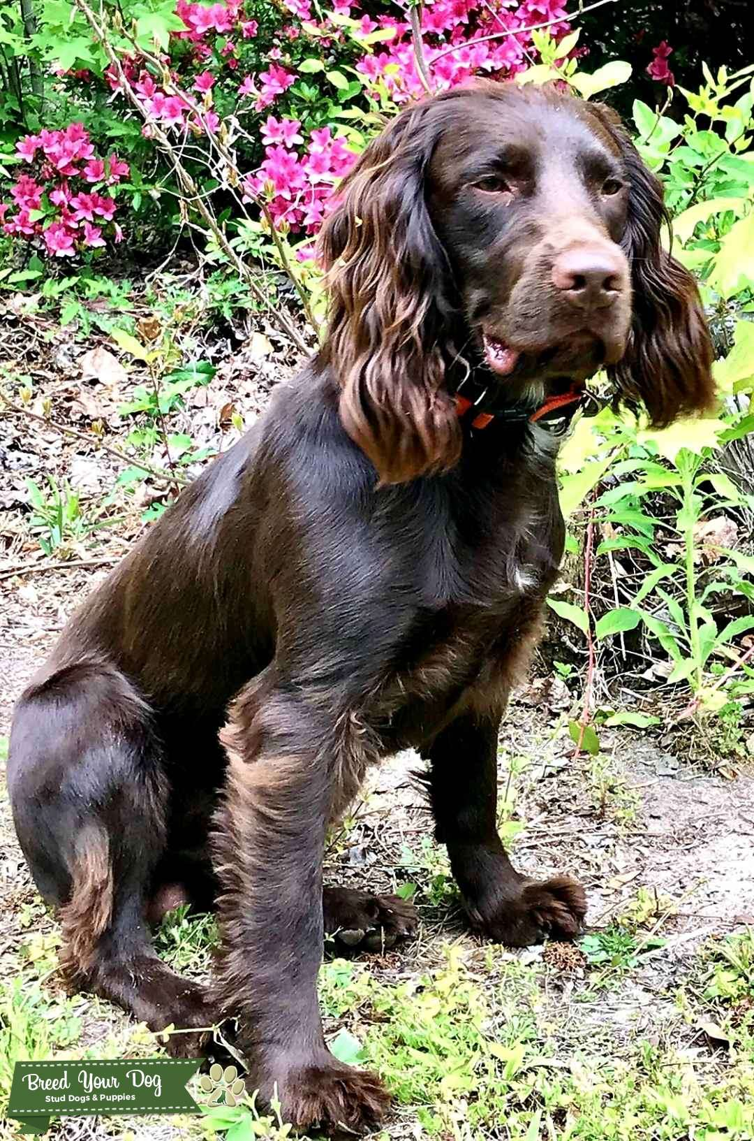English Cocker Spaniel Listing Image Big