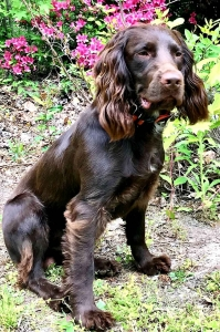 English Cocker Spaniel Listing Image