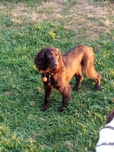English Cocker Spaniel Listing Image Thumbnail