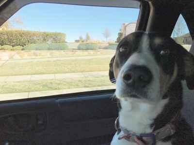 Border beagle mix stud Listing Image