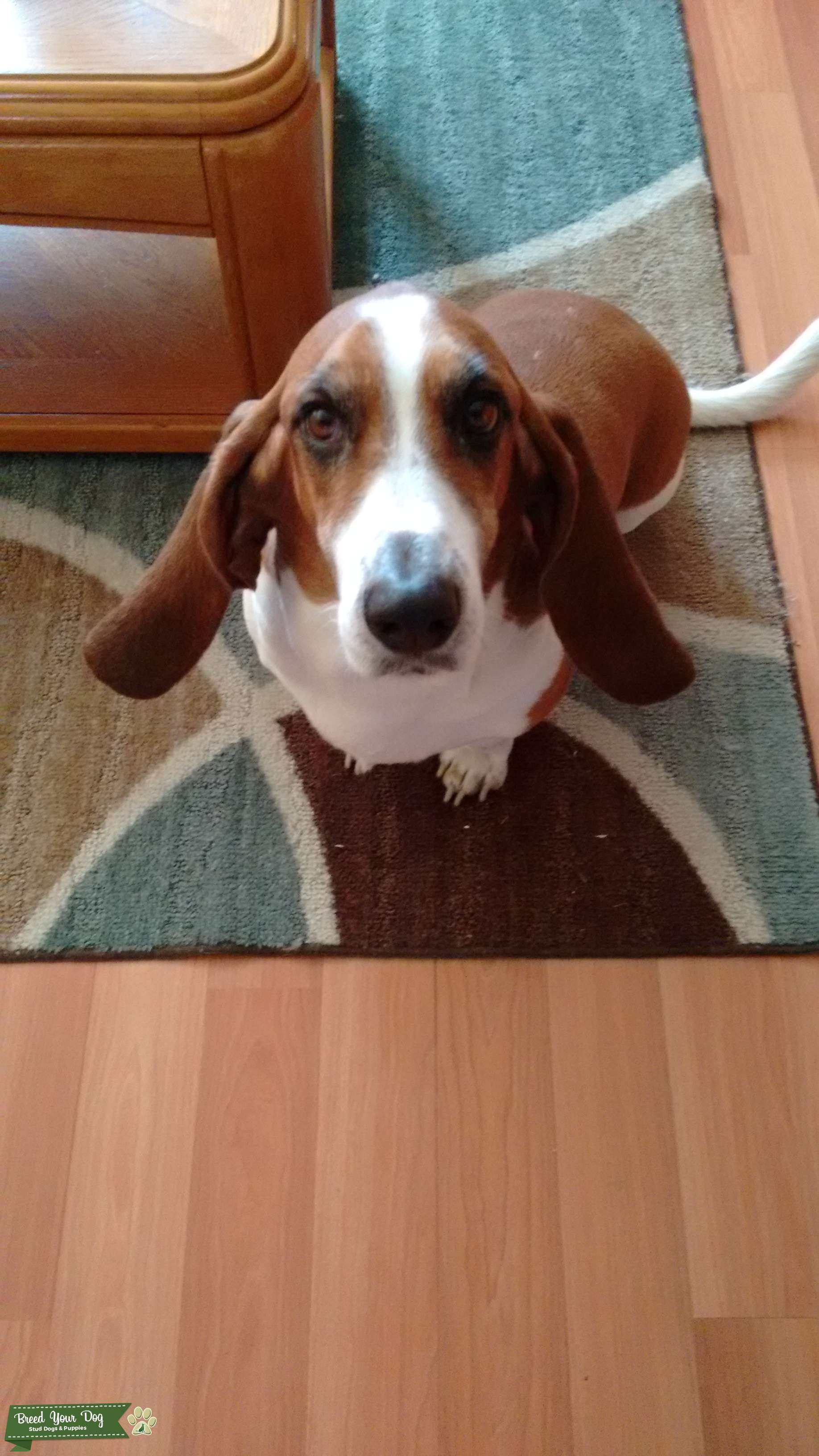 Looking for femail to mate with male basset hound 5 years old Listing Image Big