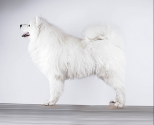Samoyed Stud Dog ChamptionPL FCI Listing Image