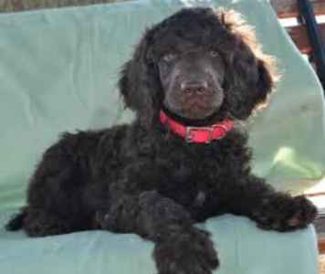 Extraordinary Chocolate Standard Poodle Listing Image