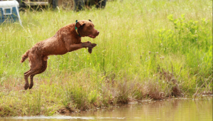 Chesapeake Bay Retriever Stud Listing Image
