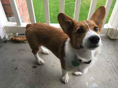 Handsome pure breed Welsh corgi  Listing Image
