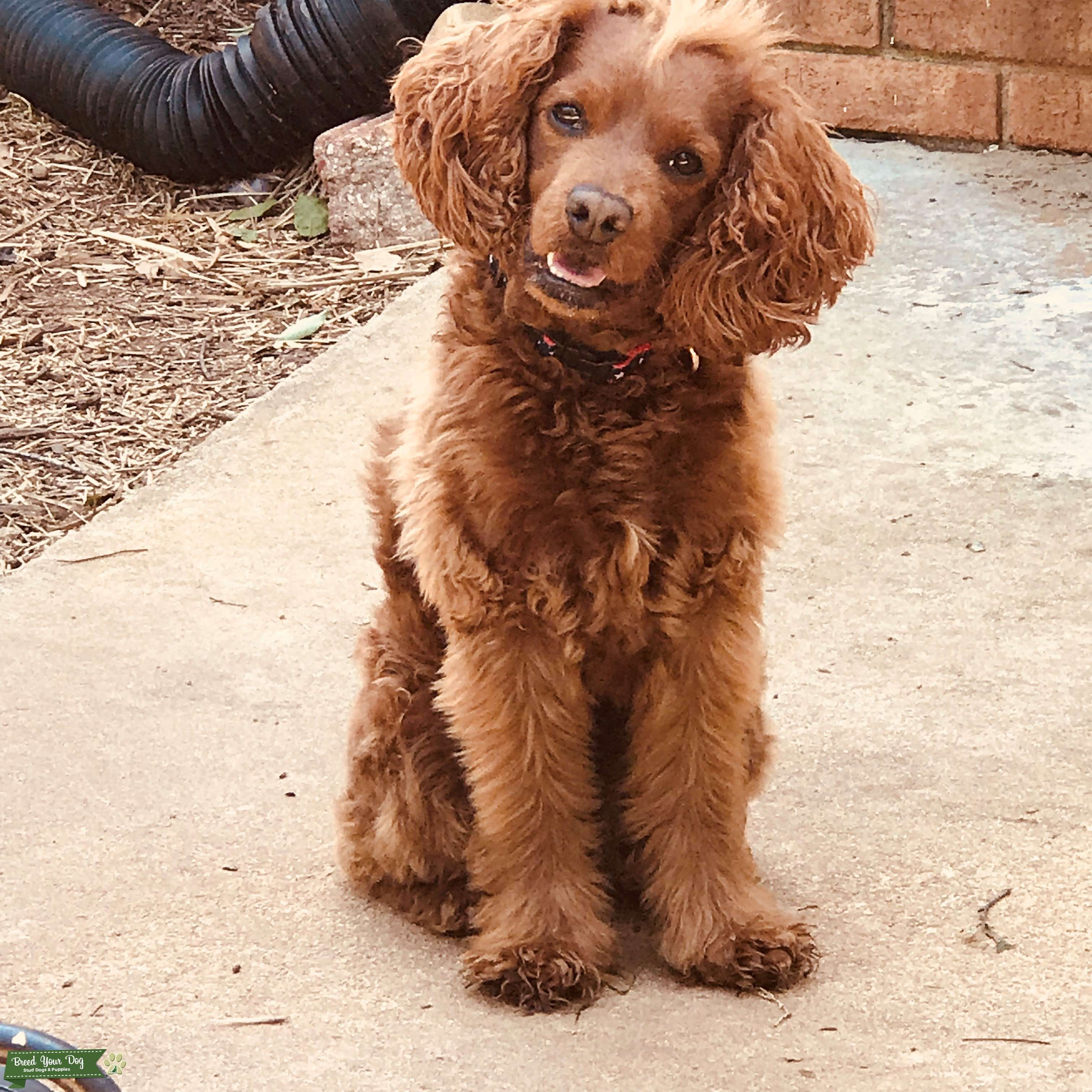 The most handsome Cockapoo EVER!! Looking to stud. Listing Image Big