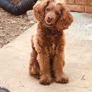 The most handsome Cockapoo EVER!! Looking to stud. Listing Image
