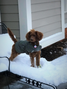 The most handsome Cockapoo EVER!! Looking to stud. Listing Image Thumbnail