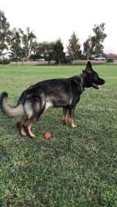 Stud Pure bred German Shepard looking to breed  Listing Image