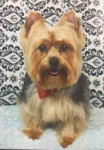 Black & Brown Yorkshire Terrier Stud Listing Image