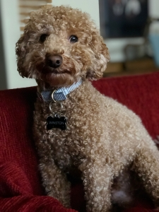 Proven AKC Apricot Miniature Poodle Stud Featured Image