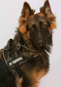 Long coat German shepherd stud Listing Image