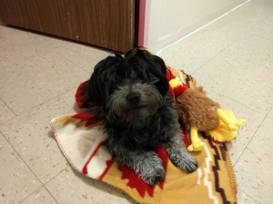 Havanese Stud Dogs Available Now - Breed Your Dog