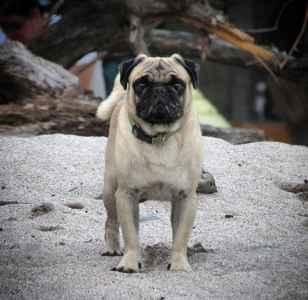 handsome pug Listing Image