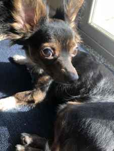 Long Haired Chihuahua Min Pin Mix Listing Image