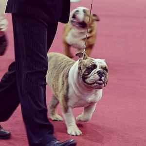 English Bulldog's STUD for sale 5 yrs Previous Champion Title Listing Image
