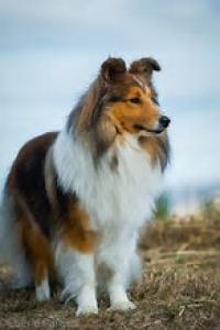 Shetland sheepdog Listing Image
