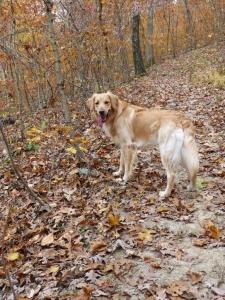 AKC Golden Retriever Listing Image Thumbnail