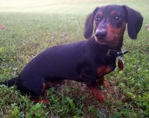 Black and tan mini dachshund  Listing Image