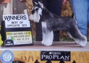 AKC Champion Miniature Schnauzer breeding Listing Image