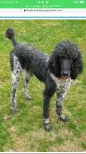 Standard Poodle Black and White Listing Image