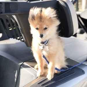 Golden Pomeranian  Listing Image
