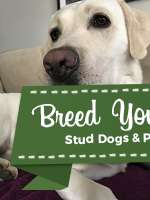 White Labrador Retriever  Listing Image Big