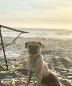 Handsome Fawn Pug Listing Image