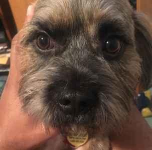 Brindle Striped Border Terrier Mix Listing Image