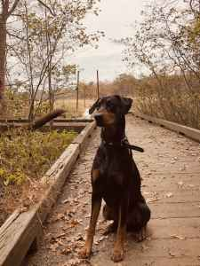 Black and Rust purebred Doberman Pinscher. Listing Image