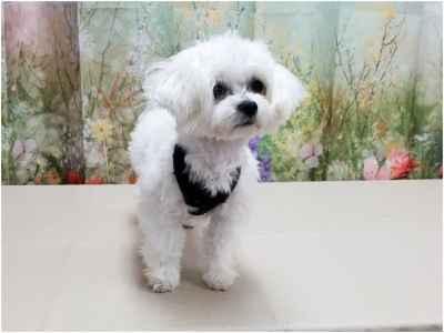 Maltese Stud Dog Proven 4 1/2 lb Baby Faced Teacup  Listing Image