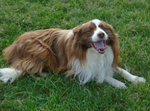 Border Collie Long Coated Stud Dog Listing Image