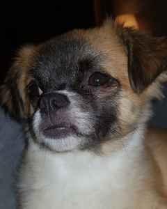 Chihuahua shitzuh cross Listing Image
