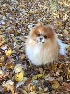 Male Pomeranian  Listing Image