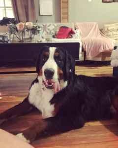 AKC Bernese Mountain Dog StUD Listing Image