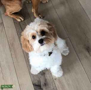 Certified Therapy Cavapoo, ready to stud. Listing Image