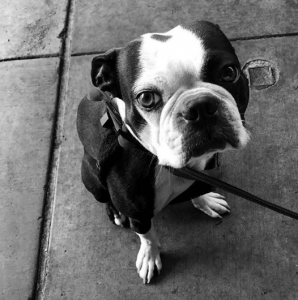 Hopeless Romantic Boston Terrier Looking for The One Listing Image