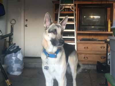 German Shepherd  Listing Image