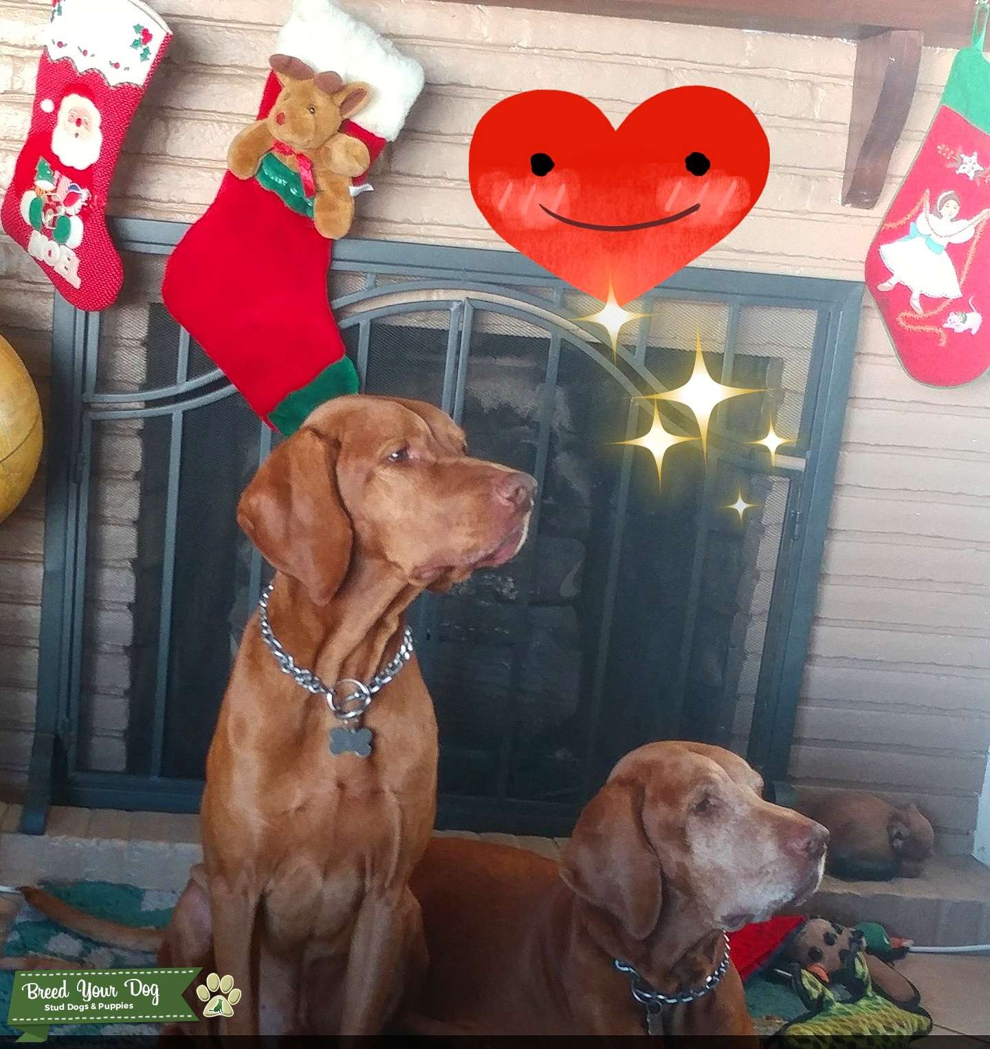 Male vizsla looking for a bitch to breed Listing Image Big