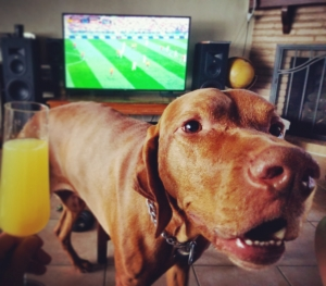 Male vizsla looking for a bitch to breed Listing Image Thumbnail