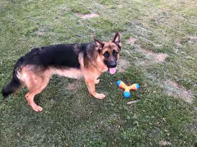 18 Month Male German Shepherd Listing Image