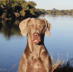 The Weimaraner with the perfect personality Listing Image