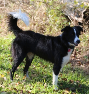Black and White Border Collie Listing Image
